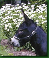 MGF Black Knight, black miniature donkey herd sire